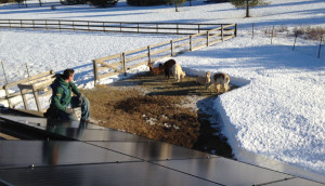 Alpaca Farm York Maine goes Solar