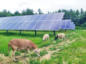 sheep grazing with solar farm land in maine