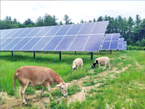 Sheep grazing at a solar farm site in Maine